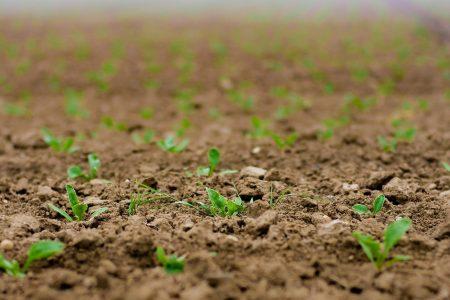 Mais Getreide Greening Gras Samen